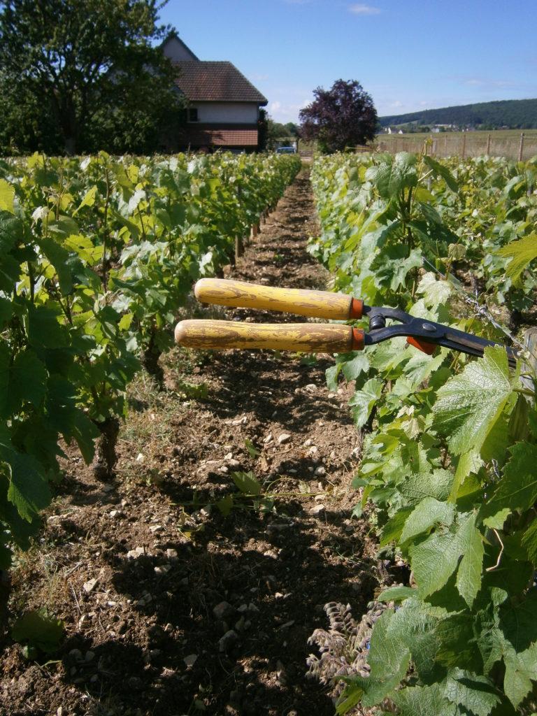 Travail de la vigne Juin